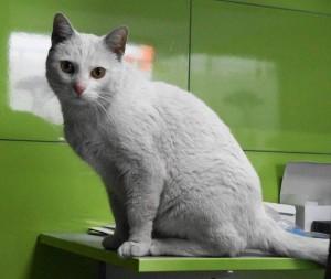 Kot z Bytomia, znaleziony na ulicy przez wolontariuszkę Fundacji CHATUL. Znalazł nowy dom.