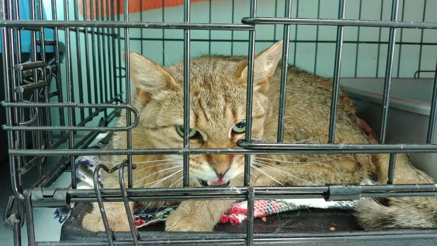 Chora kotka i kocur z ropniem